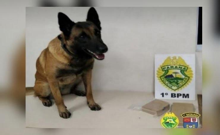 Cão da PM, Glock, localizou 1,5kg de Crack/ Foto: Divulgação/ 1°BPM
