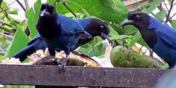Gralha-azul: ave que representa o Paraná - Foto: Google