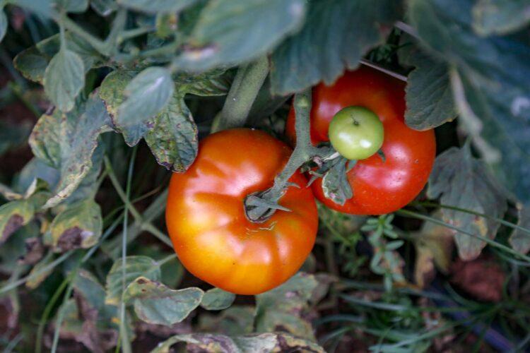 Plantação de tomate Reserva - Gilson Abreu/AEN